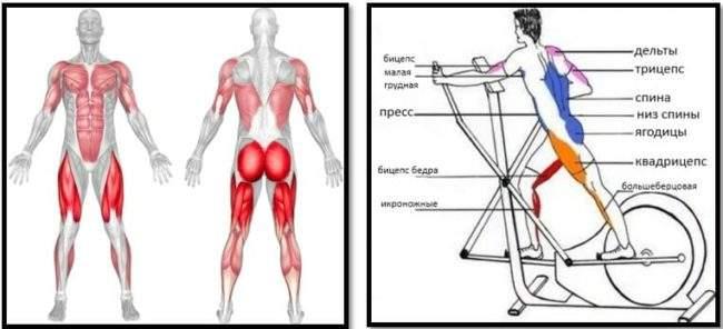 Мышцы задействованные при занятии на эллипсоиде