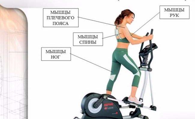 Какие мышцы работают при занятиях на эллипсоидном тренажере